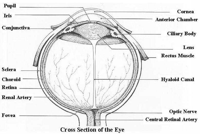 Eyech1 aml eye design how we see intelligent design fig1 2ctng diagram of typical eye for a biological vision system 400x300 ccuart Images